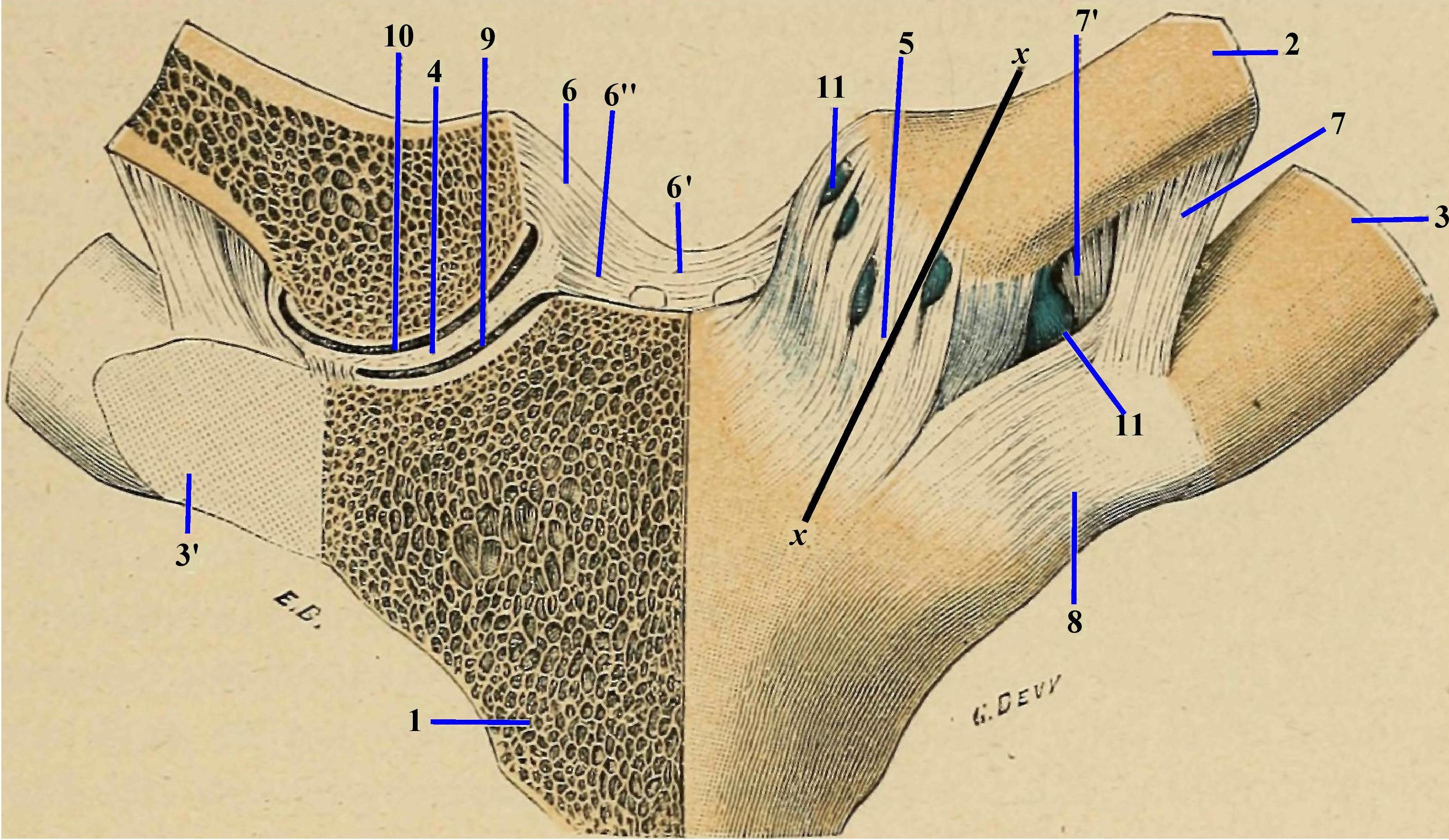 Disfuncții articulare sternoclaviculare (SC)