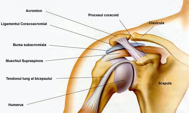 tratamentul durerii de umăr refacerea țesutului cartilaginos al articulației cotului