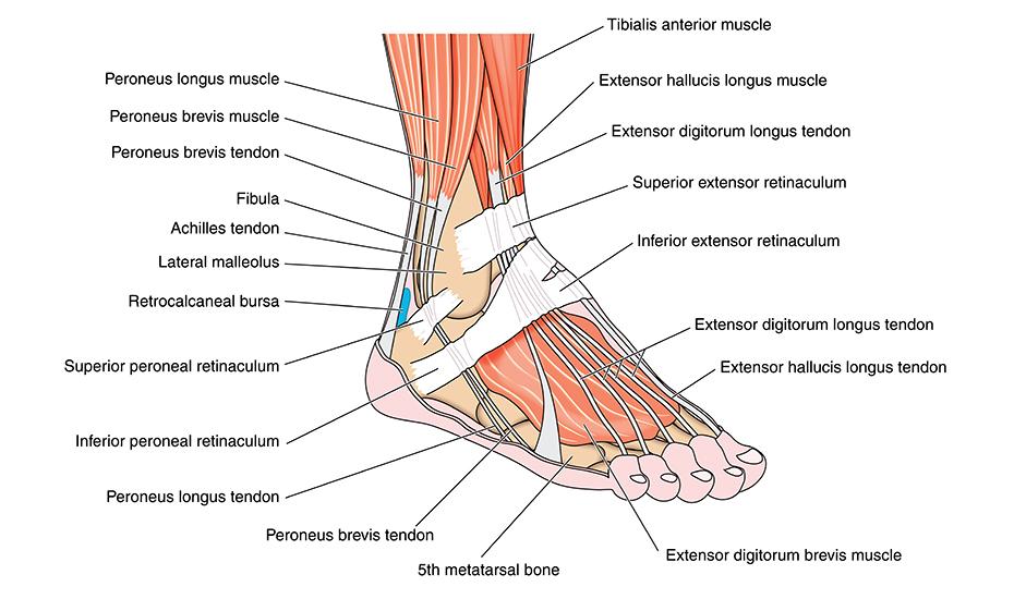 Recuperarea după ruperea ligamentelor glezne - Diagnosticare