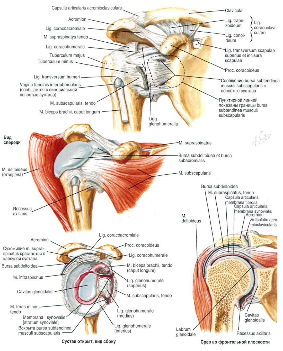deteriorarea buzei cartilaginoase a articulației umărului dureri articulare din alimente